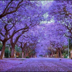 The Jacarandas of Jozi